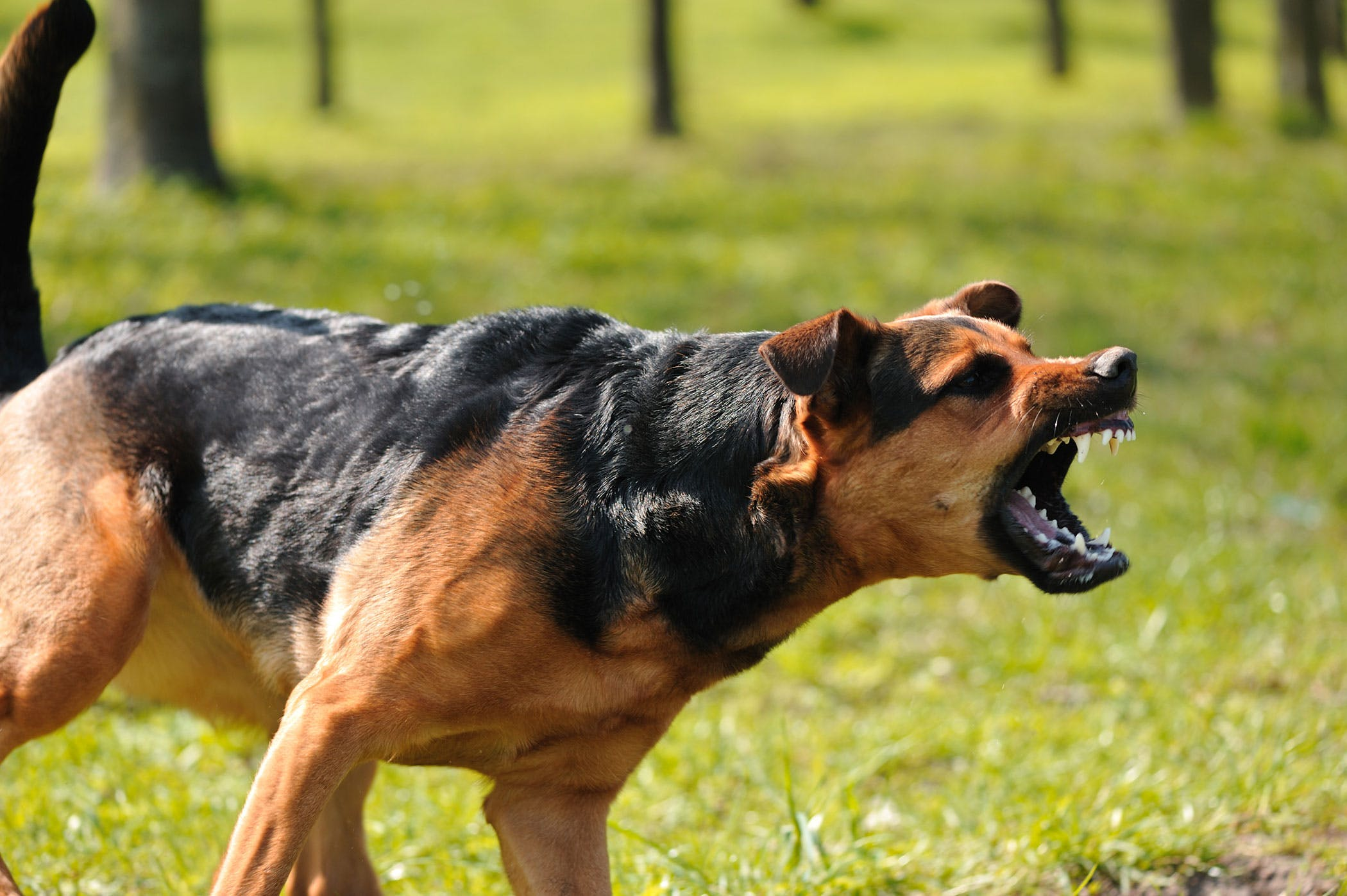Dog Growling and Biting