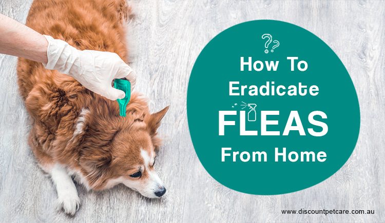 Eradicate Fleas From Home